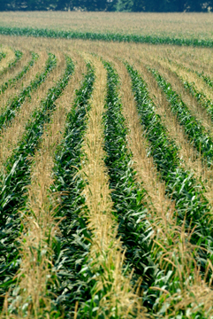 Corn rows Tas