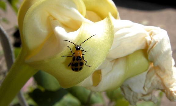 Poison Ladybug
