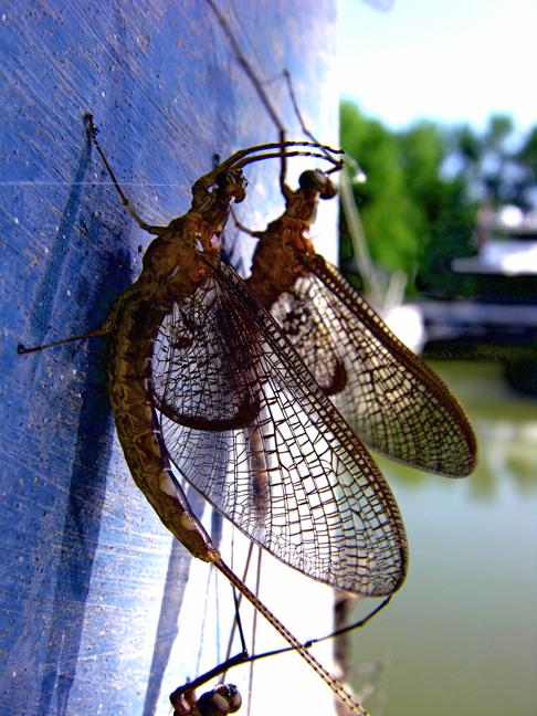 Mayflies web